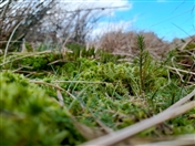 Sphagnum: reversing the fortunes of our northern moors